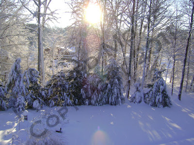 Picture of snow covered evergreens in sunshine