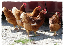 Mis gallinas ponedoras