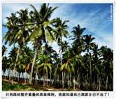 51. 椰树摇曳的故乡