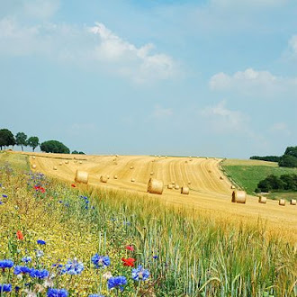 Summer field in Belgium (Hamois). The blue flower is Centaurea cyanus and the red one a Papaver rhoeas.