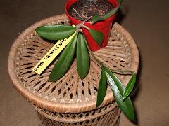 Hoya salweenica