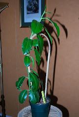 Hoya imperialis Borneo red