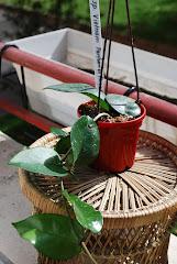 Hoya sp Vietnam parfume  pagode