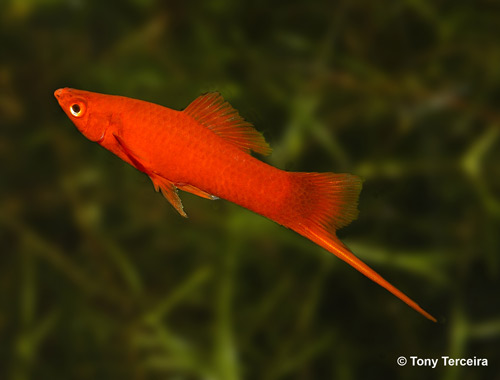 orange and black molly fish