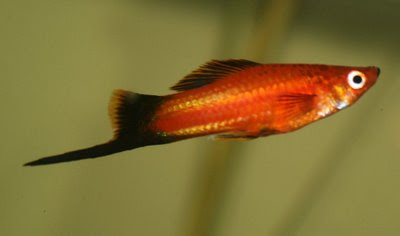 swordtail diseases and treatments swordtails are hardy and resilient ...