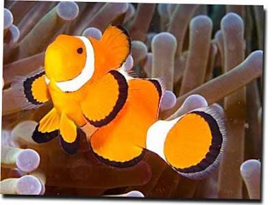 Ocellaris clownfish anemone - photo#26