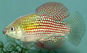 American Flagfish Care