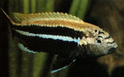 melanochromis bauratus sale