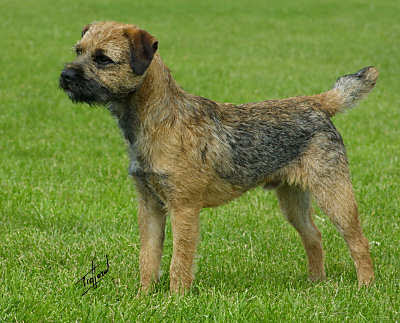 Funny Border Terrier Dog Breeds