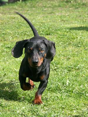 Top Pictures of Dachshund Dog Breed