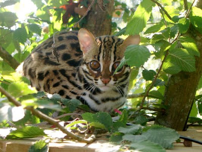Pictures of Bengal Cat
