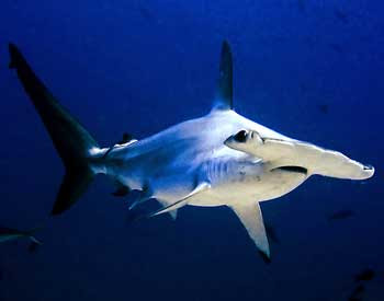 Hammerhead Shark Pictures Gallery