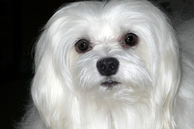 Maltese Small Dog Breeds