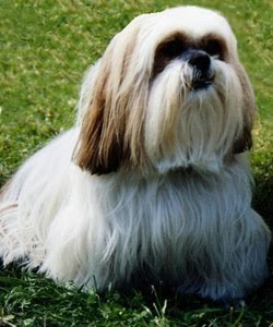 The Lhasa Apso Personality