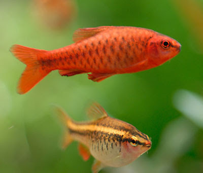 Picture of Cherry Barb