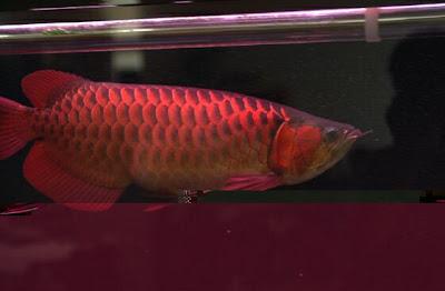 Picture of Super Red Arowana