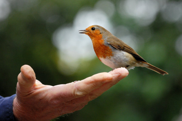 european wallpaper. European Robin