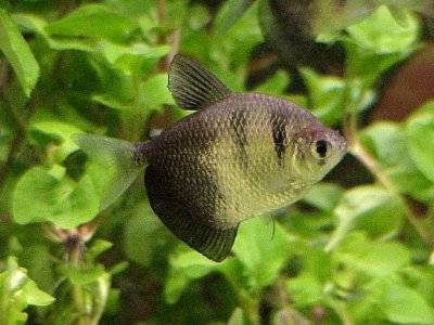 Black Phantom Tetra Photo