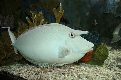 Unicorn Tang Fish Photo
