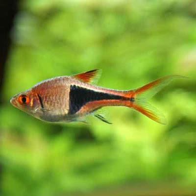 Harlequin Rasbora in Aquariums