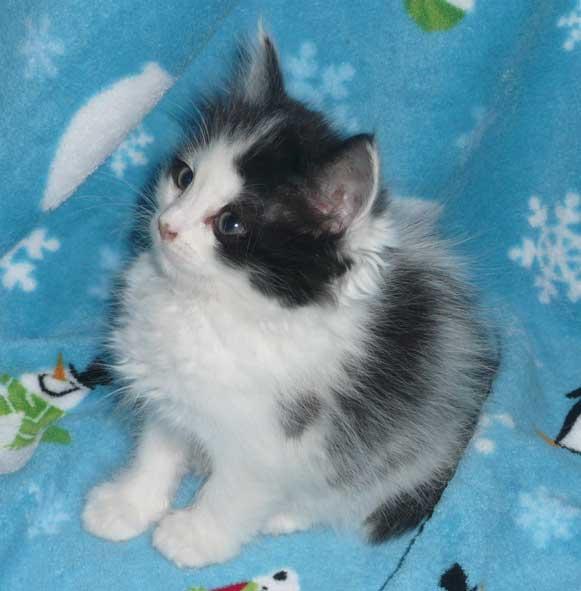 gray hairless cat
