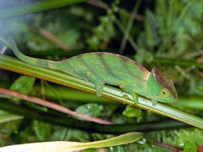 Chameleon are often sold at pet stores