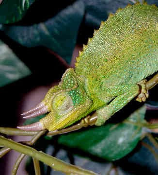 Chameleon vary greatly in size and body structure