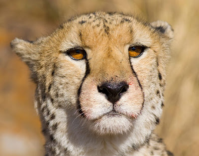 Cheetah has a small head with high-set eyes