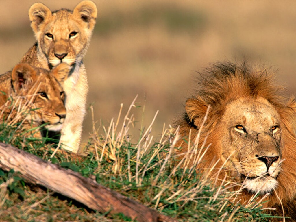 WILD LIFE: African Animals - African Lions