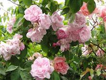 Mendocino Roses
