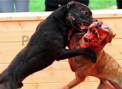 Las Peleas de Perros