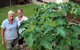 Tanaman yang paling beracun dan mematikan ditemukan tumbuh dipekarangan warga