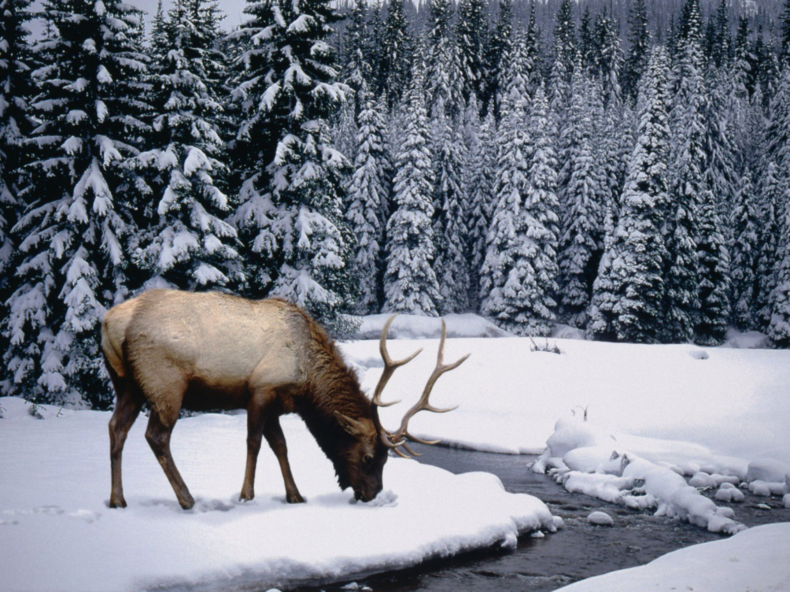 Cool   Wallpaper Horse Snow - winter-stag-wallpapers_1277_1024  Trends_100117.jpg
