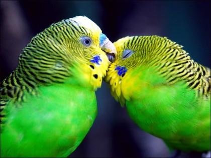 wallpapers of love birds. love birds photos,love birds