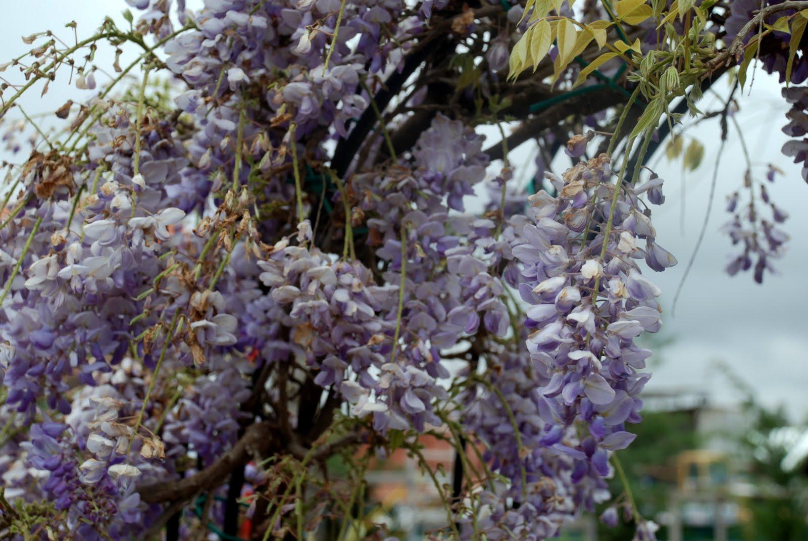 Wisteria sinensis visteria china o glicina d aprop for Glicina planta