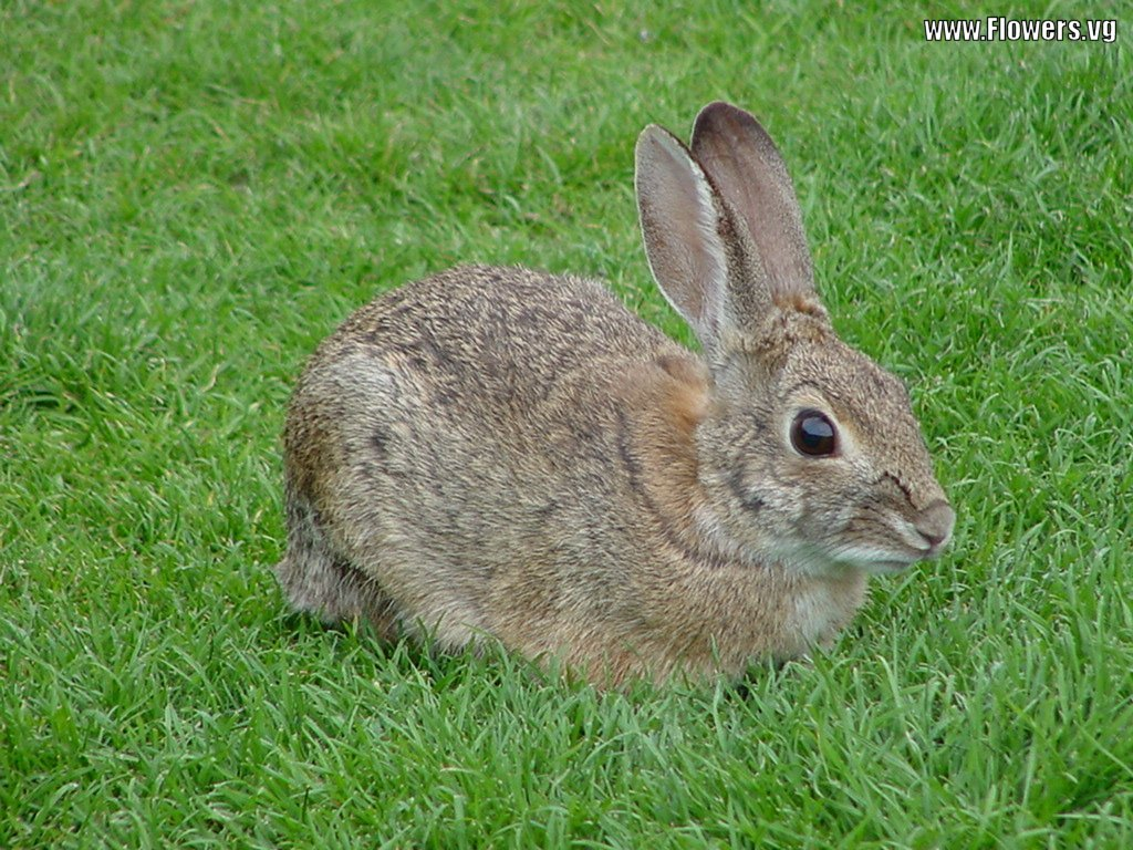 Dark Brown Rabbits