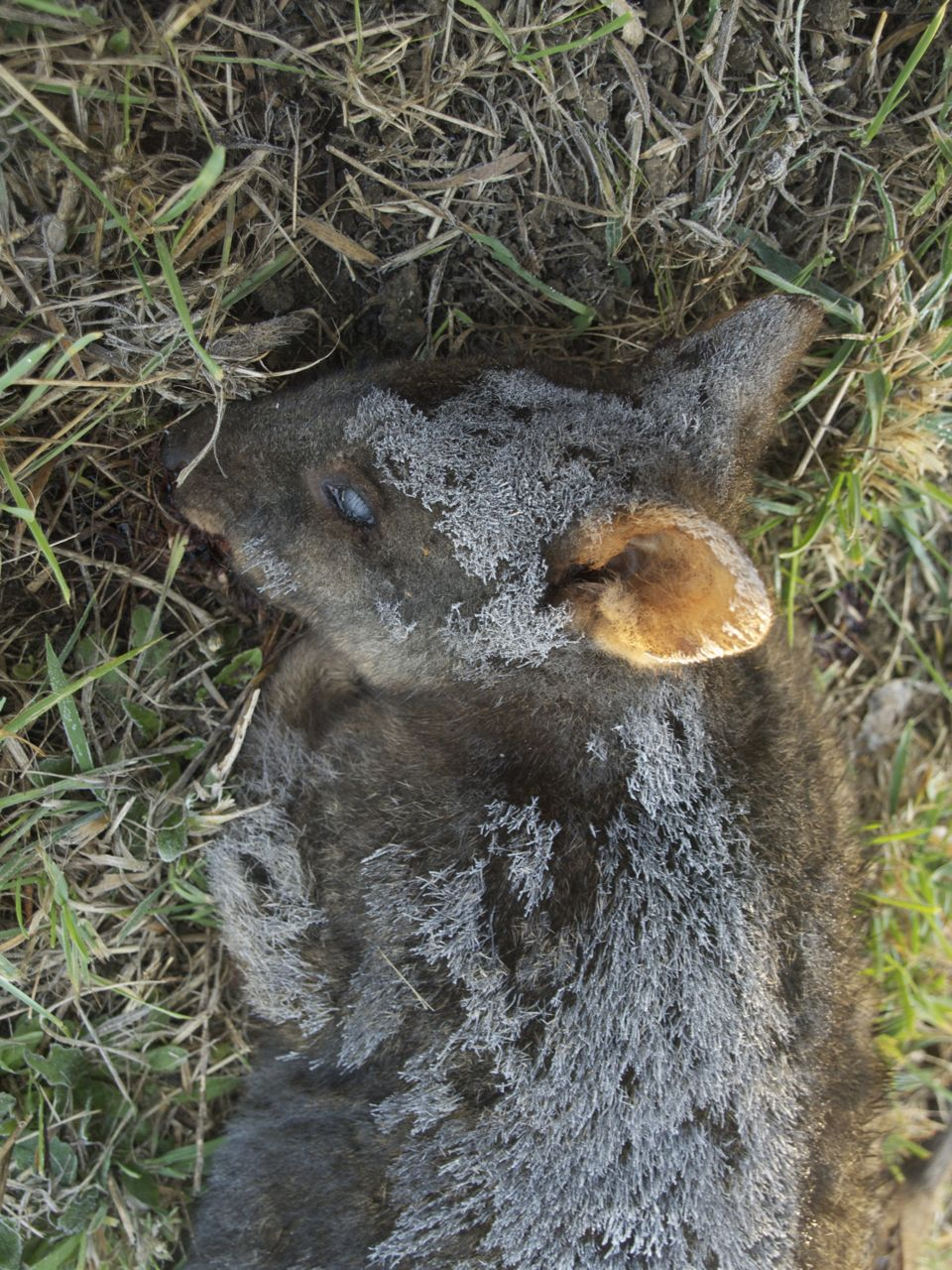 One frosty morning I find a mature pademelon dead by our road-side.