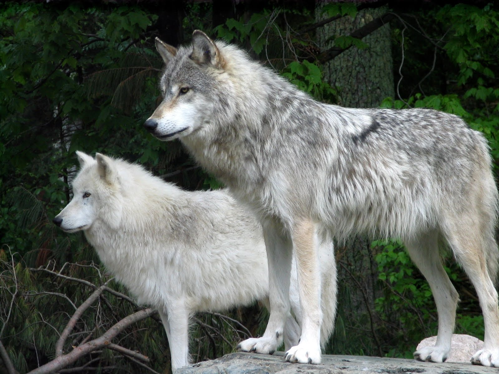 Gray Wolf Colors