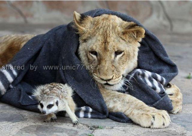 http://2.bp.blogspot.com/_EHi0bg7zYcQ/TJgXUYEOMgI/AAAAAAAAEpI/xp2MBKgMGAA/s1600/best_buddies_lion_640_07.jpg