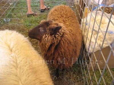 shetland sheep showing natural
