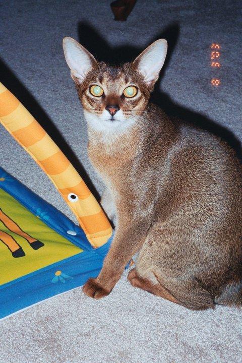 Abyssinian Cat Austin Tx