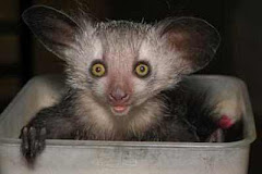 Aye-Aye
