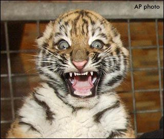 baby_tiger_surprised_face.jpg