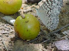 A borboleta do fruto do imbuzeiro
