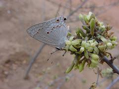 A borboleta na flor do mamãozinho-de-veado
