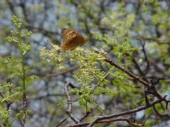 A borboleta vermelha na flor do imbuzeiro