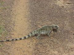 Um camaleão da caatinga