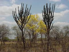 A floração do sete-cascas