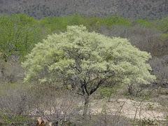A floração da jurema preta