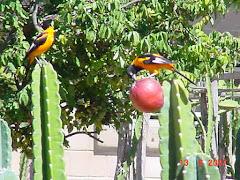 Alimento para os pássaros na caatinga